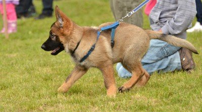 edinburgh-german-shepherd-puppy-classes