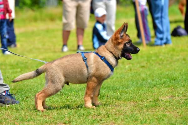 puppy-classes-edinburgh-german-shepherd